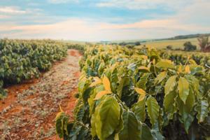 コロンビアコーヒー豆の特徴は?主要な産地・品種・おいしい飲み方も