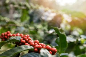 インドネシアコーヒー豆の特徴|歴史・主な産地や豆の種類も